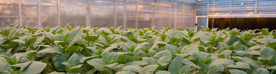 tobacco plants inside a greenhouse