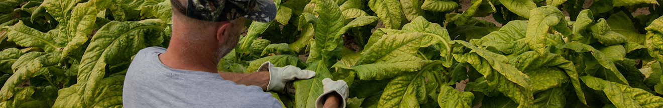 farmer inspecting tobacco leaves with gloves