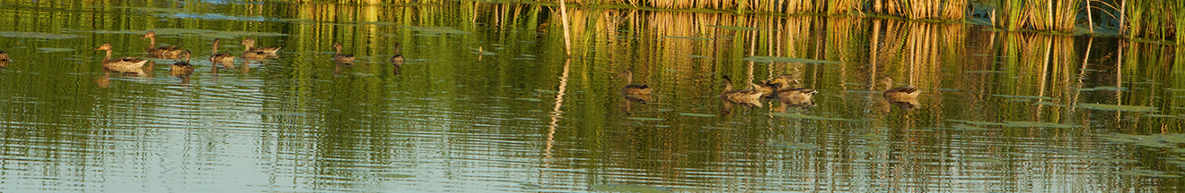 ducks swimming in pond at park 500 facility