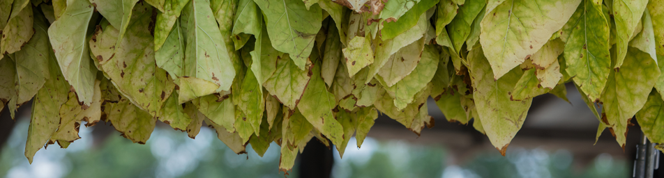 tobacco leaves hanged for curing