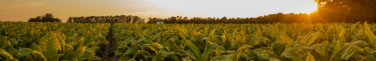 sun setting over tobacco field and peeking through tree tops