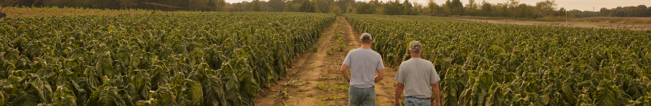 two farmers walking in tobacco field