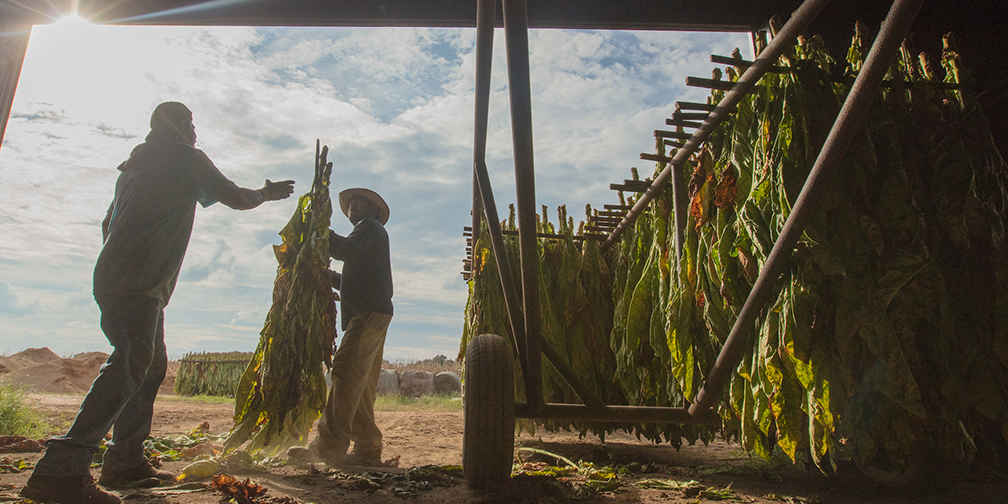 farm workers hanging tobacco in barn